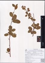 Cotoneaster melanocarpus Fisch. ex A.Blytt