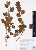 Crataegus dahurica Koehne ex C.K.Schneid.