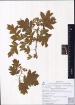 Crataegus pinnatifida Bunge