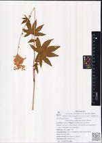 Filipendula palmata (Pall.) Maxim.