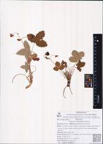 Fragaria orientalis Losinsk.