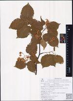 Micromeles alnifolia (Siebold et Zucc.) Koehne