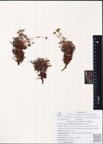 Potentilla biflora Willd. ex Schltdl.