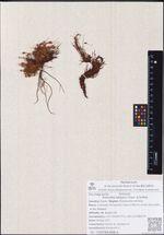 Potentilla elegans Cham. & Schltdl.