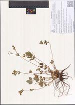 Potentilla fragarioides L.