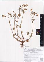 Potentilla stipularis L.