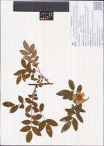Rosa acicularis Lindl.