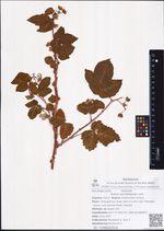 Rubus sachalinensis Levl.