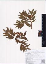 Sorbus sambucifolia (Cham. & Schltdl.) M.Roem.