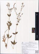 Galium physocarpium Ledeb.