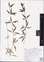 Rubia jesoensis (Miq.) Miyabe & Kudo