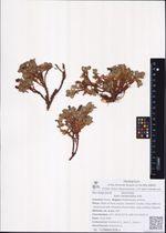 Salix berberifolia Pall.