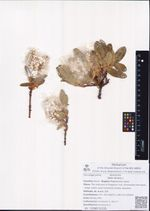 Salix lanata L.