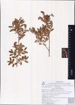 Salix myrtilloides L.