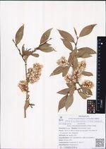 Salix pseudopentandra (Flod.) Flod.