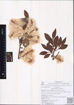 Salix pulchra Cham.