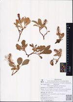 Salix sphenophylla A.K.Skvortsov