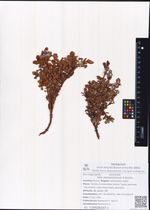 Salix tschukschorum A.Skvorts.