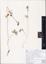 Aconitum delphinifolium DC.
