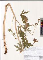 Aconitum fischeri Rchb.