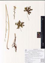 Aconitum umbrosum (Korsh.) Kom.