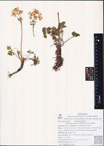 Anemonastrum sibiricum (L.) Holub
