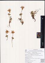 Anemone multiceps (Greene) Standl.
