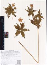 Anemonidium dichotomum (L.) Holub