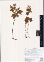 Anemonoides amurensis (Korsh.) Holub