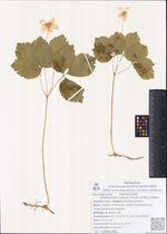 Anemonoides udensis (Trautv. et Mey.) Holub