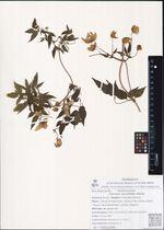 Clematis serratifolia Rehder