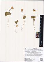 Jurtsevia richardsonii (Hook.) A.et D.Love