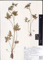 Ranunculus chinensis Bunge