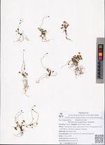 Ranunculus pygmaeus Wahlenb.