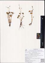 Ranunculus sarmentosus Adams