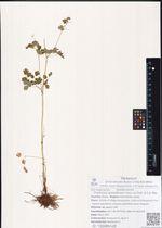 Thalictrum sparsiflorum Turcz. ex Fisch. & C.A. Mey.