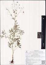 Thalictrum foetidum L.