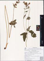 Thalictrum tuberiferum Maxim.