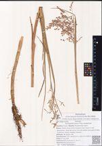 Arctophila fulva (Trin.) Andersson