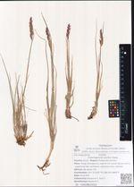 Calamagrostis arctica Vasey
