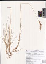 Calamagrostis lapponica (Wahlenb.) Hartm.