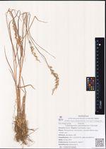 Calamagrostis sachalinensis F.Schmidt