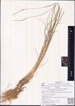 Elytrigia jacutorum (Nevski) Nevski