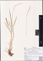 Hystrix sibirica (Trautv.) Kuntze