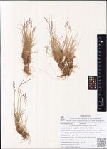 Lerchenfeldia flexuosa (L.) Schur