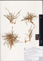 Phippsia algina (Soland.) R.Br.