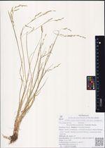 Puccinellia kurilensis (Takeda) Honda