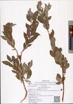 Salix gracilistyla Miq.