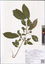 Rhamnus ussuriensis J.J. Vassil.