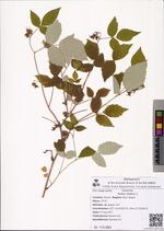 Rubus idaeus L.